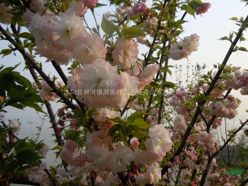 供应草樱,嫁接樱花用苗,樱花的砧木