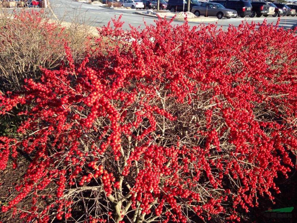 红火紫薇绿篱ps素材
