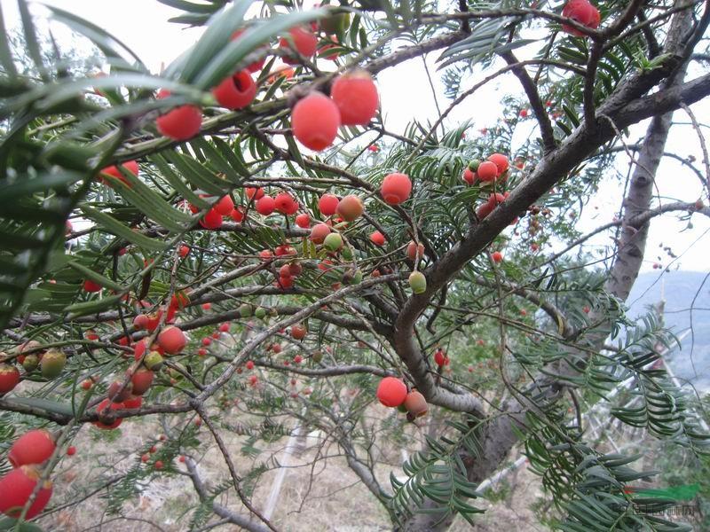 红 豆 杉 风 水 神 树 - 冬日暖陽 - 缘来如此心动