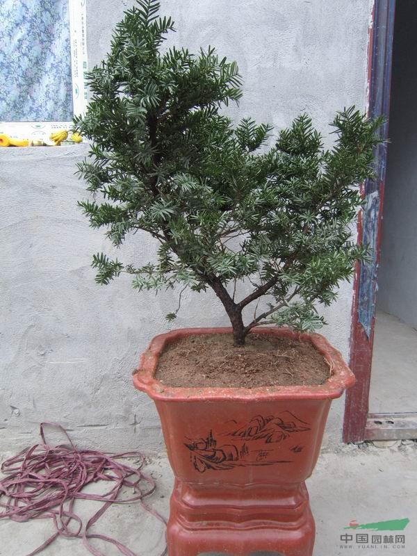 红豆杉盆景图片