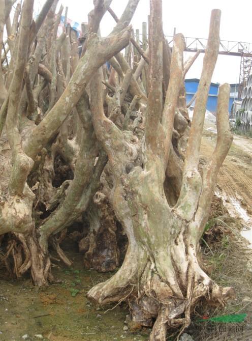 紫藤树树桩盆景图片