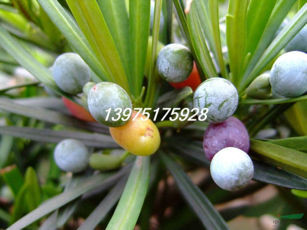 罗汉松种子图片