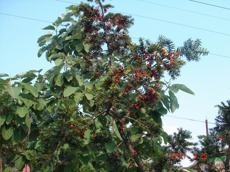 乔木型树苗,生长速度快(比普通的树苗快一倍)直杆塔型,杆红叶绿果红