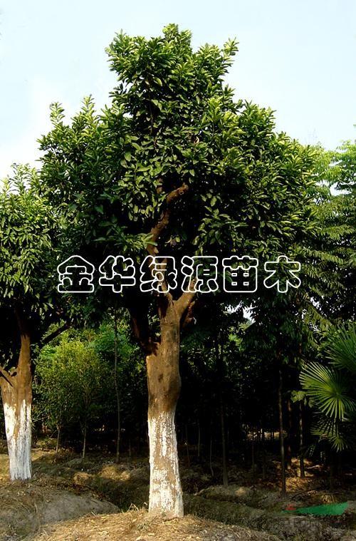 金华市绿源珍稀树种研究
