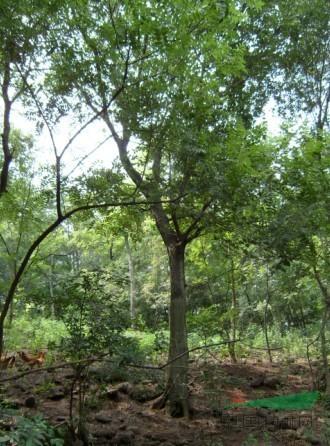 首页 绿化苗木频道 苗木供应 绿化苗木 乔木 朴树 图片  该公司其他