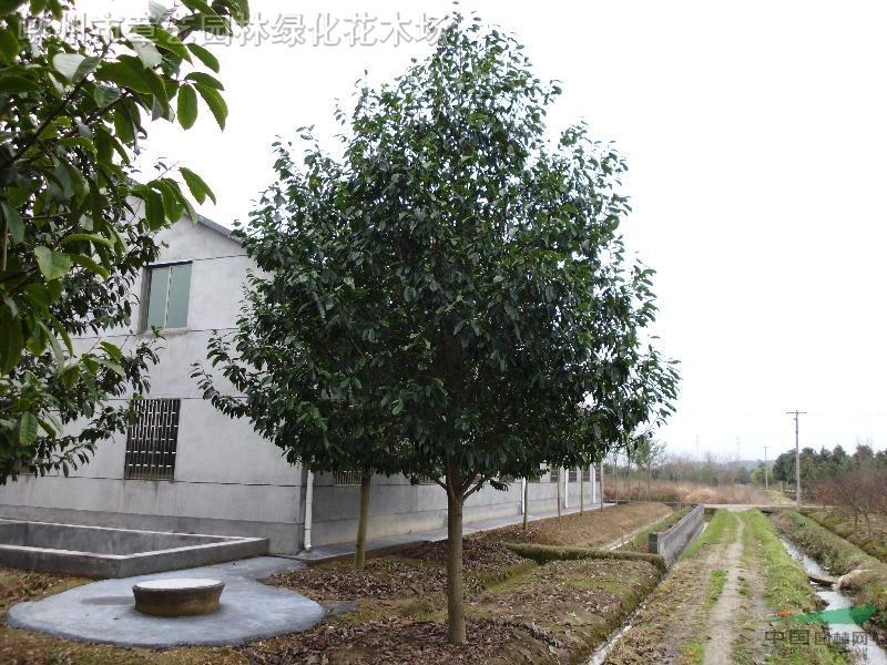 乐昌含笑 - 苗木供应信息 - 嵊州市章艺园林绿化花木