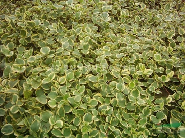 绿篱色块类:龙柏,卫矛,扶芳藤,金叶女贞,大叶黄杨,小叶黄杨,金边黄杨