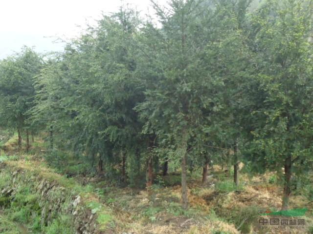 红豆杉|盆景|形态特征:红豆杉是常绿乔木,小枝秋天变成黄绿色或淡红褐色,叶条形,雌雄异株,种子扁圆形。种子用来榨油,也可入药。属浅根植物,其主根不明显、侧根发达,高30m,干径达1m。叶螺旋状互生,基部扭转为二列,条形略微弯曲,长1~2.5cm,宽2~2.5mm,叶缘微反曲,叶端渐尖,叶背有2条宽黄绿色或灰绿色气孔带,中脉上密生有细小凸点,叶缘绿带极窄,雌雄异株,雄球花单生于叶腋,雌球花的胚珠单生于花轴上部侧生短轴的顶端,基部有圆盘状假种皮。种子扁卵圆形,有2棱,种卵圆形,假种皮杯状,红色。 生长习性:幼