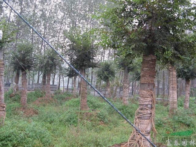 榉树种子种植技术_榉树种子,榉树种苗,榉树,别称:大叶榉,红榉树,青榉,白榉