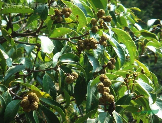 领春木种子,领春木,别称:云叶树,正心木,木桃,沭阳领春木