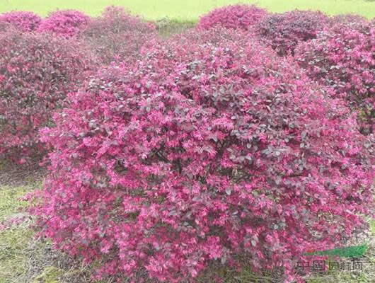 造型红桎木