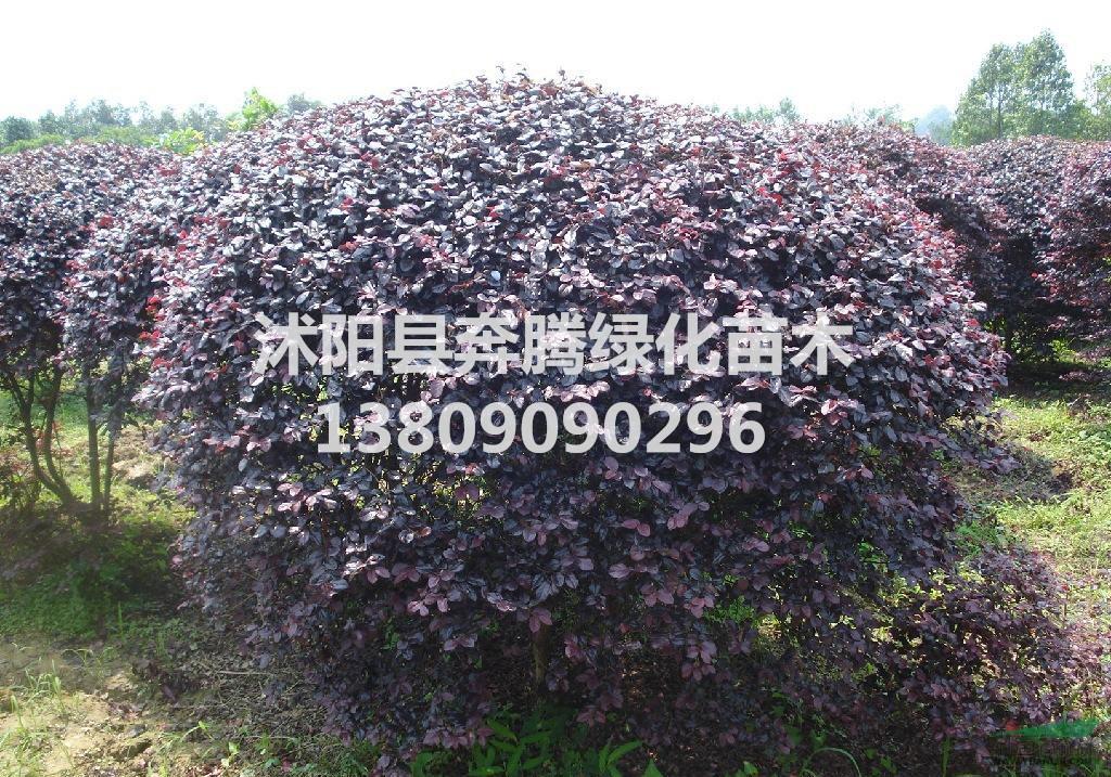 色块类植物-红花继木 红花继木球 工程苗