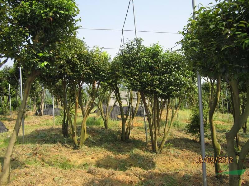 油茶树嫁接茶花技术_桔子树嫁接技术图解-桔子树嫁接图解