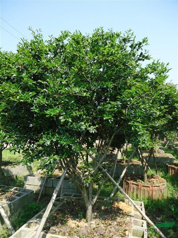 是私家庭院,别墅豪宅,社区,公园等绿化美化的上佳树种.