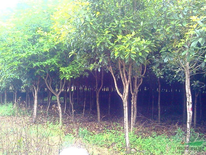 桂花树,银杏树