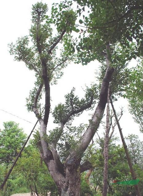 丛生(造型)朴树 - 苗木供应信息 - 江苏九久环境科技
