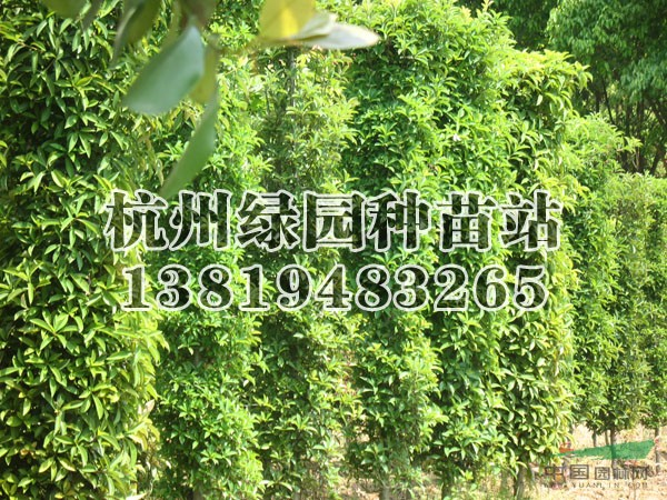 椤木石楠柱价格_供应_图片_桂林兴安县宏森园林有限
