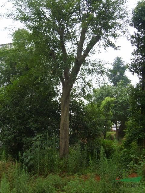 绿化苗木频道 苗木供应 绿化苗木 乔木 湖南朴树 益阳朴树 大朴树 大