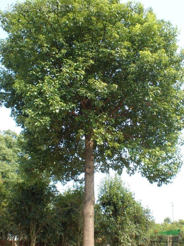一棵老榆树 - yanqiyu04 - yanqiyu04的博客