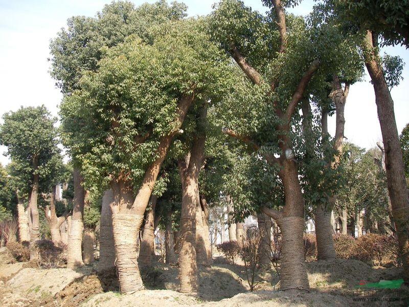 香樟树形结构图