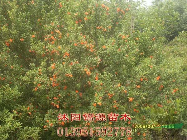 石榴树_石榴树供应_沭阳县锦源园林绿化苗木场
