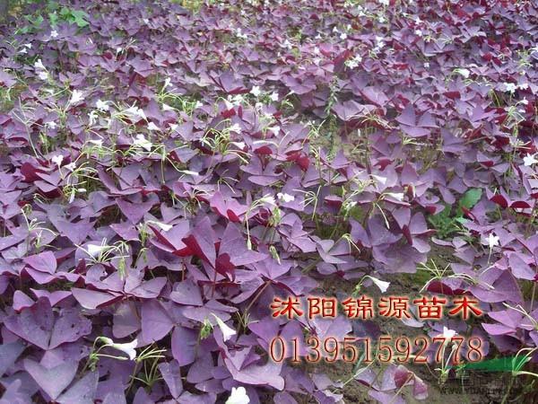 紫花炸浆草价格_供应_图片_桂林兴安县宏森园林有限