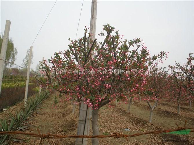 西府海棠价格_供应_图片_河南省清泉绿化苗木花木园林