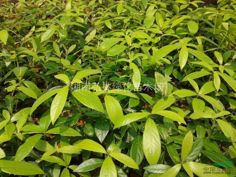 楠木树价格|楠木苗|金丝楠木苗|金丝楠木小苗