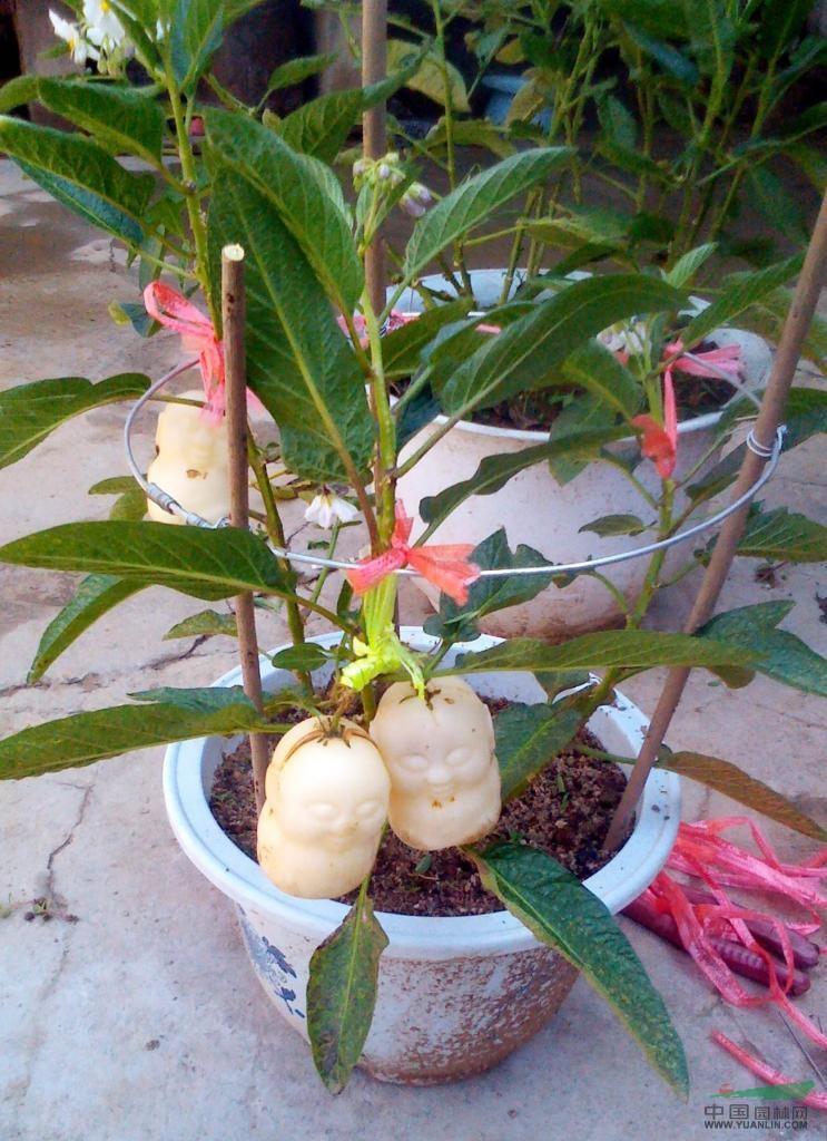 烟台政含苗木园艺厂从2011年推出水果生长成型模具,在传统水果