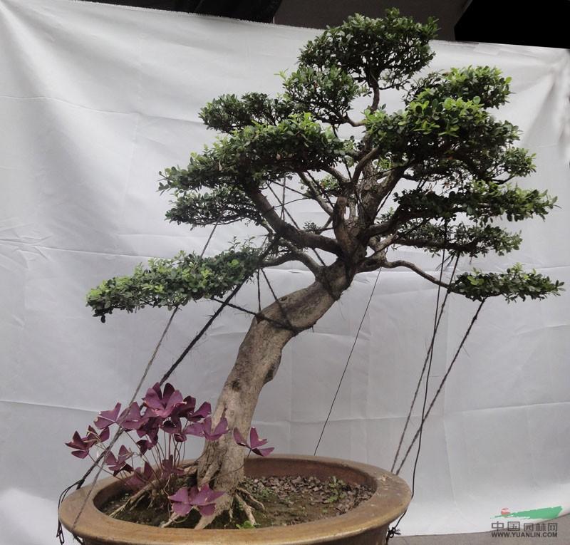 瓜子黄杨造型盆景2图片