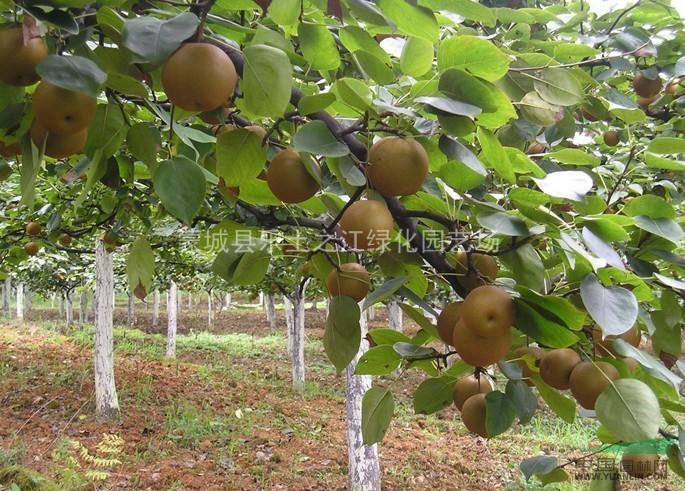梨树冬季修剪图片步骤