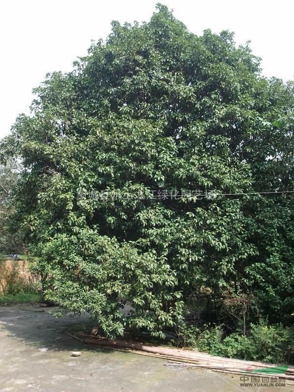 四季桂 八月桂 金桂 丹桂 桂花绿篱 桂花色块 多种规格供应