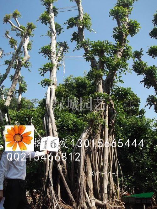 榕树树桩,榕树盆景,s弯