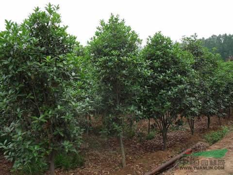 天津桂花树价格