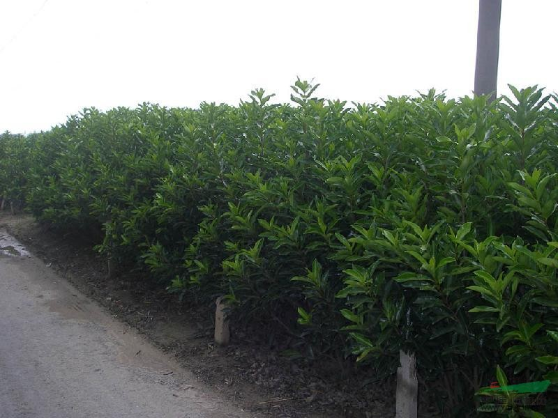各种色块苗木 法国冬青,青珊瑚,早禾木,日本珊瑚树