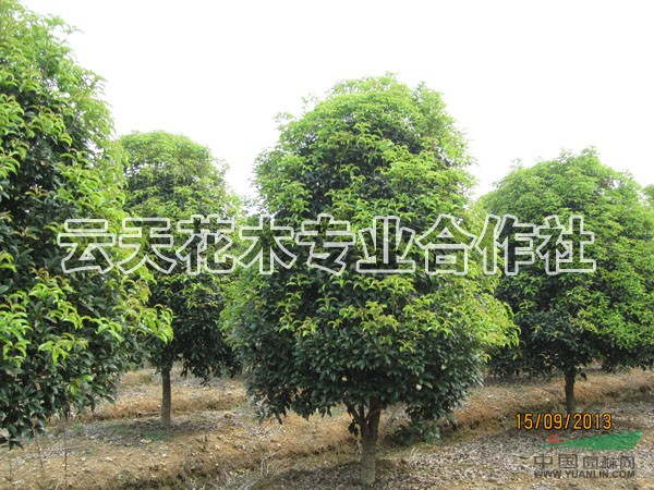 华东地区最大的红花木莲