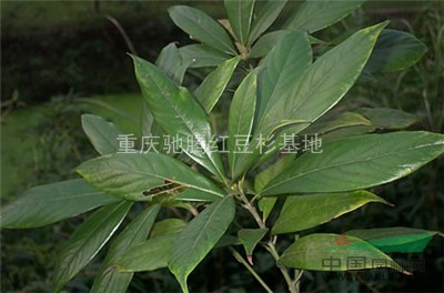 金丝楠木苗栽种|金丝楠木小苗栽种|金丝楠木苗栽种