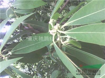 重庆金丝楠藏家提供的金丝楠图片令人震惊的金丝楠