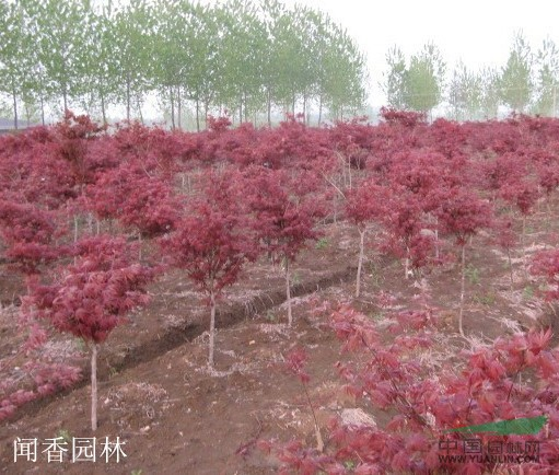 春天红枫树图片