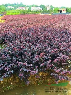 湖南红花继木价格 红花继木球 造型红花继木桩红花继木小苗批发