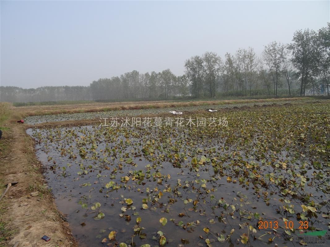 当年结果 供应实生银杏小苗 白果小苗 预定中  供应水生植物睡莲根块