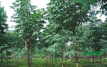 七叶树价格图片