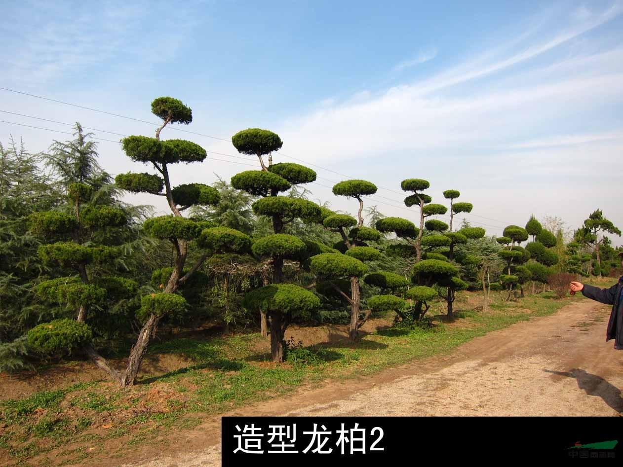 低价销售大量绿化苗木【含精品大规格苗木】