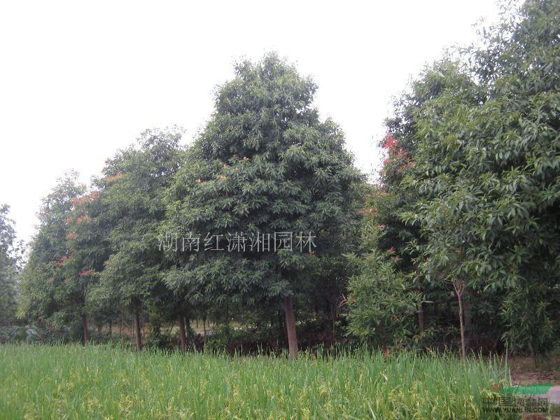 金丝楠木,桢楠,湖南楠木(3-20cm)