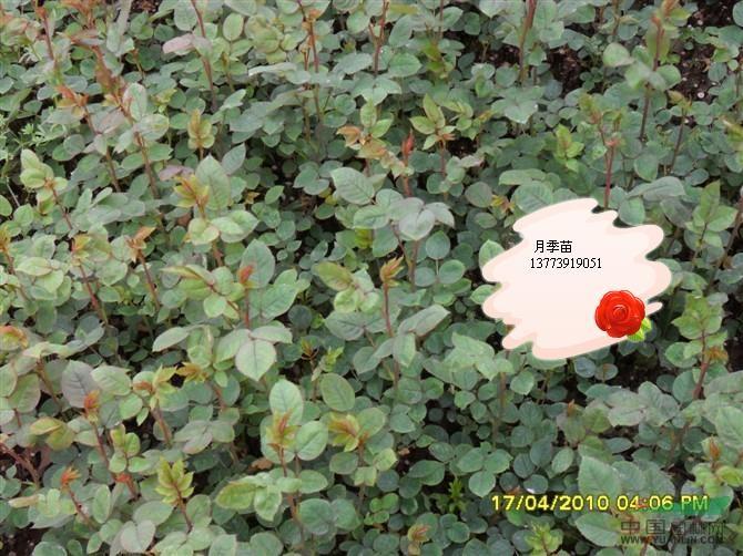 别墅盆栽海棠花图片