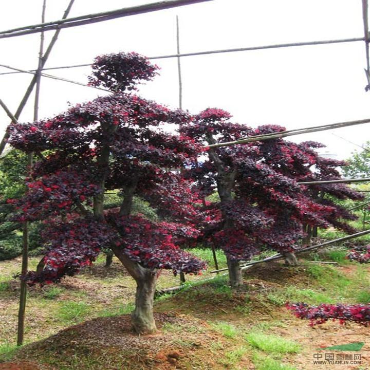 基地主要苗木品种: 红花继木(双面红),罗汉松 ,乐昌含笑