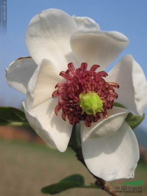 木兰花图片  供应