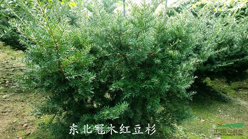 新品种为乔木型树苗,生长速度快(比普通的树苗快一倍)直杆塔型,杆红叶