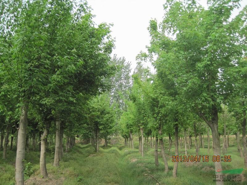 葡萄树,板栗