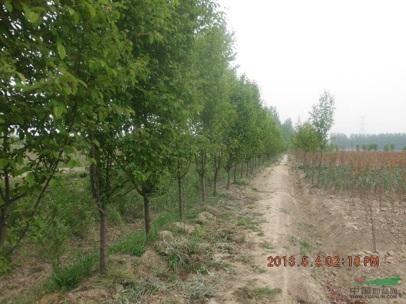 木瓜树 木瓜树供应 徐州森海园林绿化服务部 -木瓜树